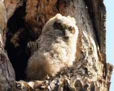 PhD opportunity: species distribution and abundance models of Canadian owls